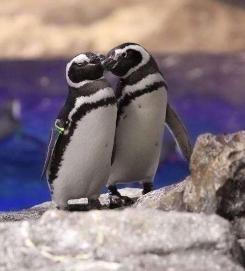 """ペンギンカップルの恋バナ、聞く?「すみだ水族館」で""""恋する水族館。""""開催その2"""