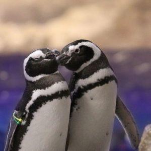 """ペンギンカップルの恋バナ、聞く?「すみだ水族館」で""""恋する水族館。""""開催"""