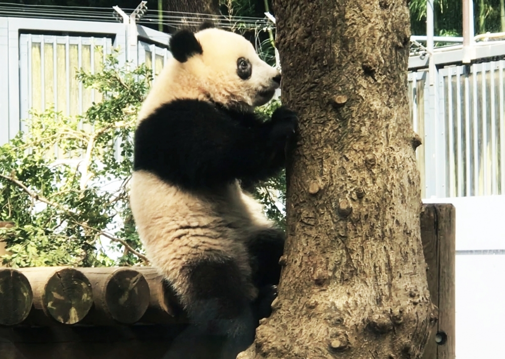 上野動物園のシャンシャンがかわいすぎ! 旅作家・とまこが体感した観覧タイミングとおすすめパンダグッズ、カフェ【連載第29回】その3