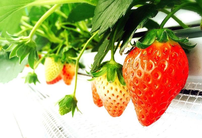 【徳島県】さまざまな品種を食べ比べ!「いせや農場」