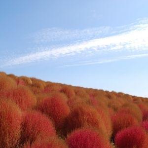 秋の絶景!「国営ひたち海浜公園」で真っ赤に色づくコキアの絨毯