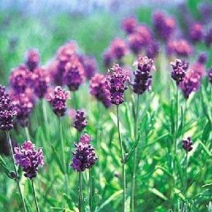「河口湖ハーブフェスティバル」が16日から開催!一面の紫の絨毯を見に行こう!