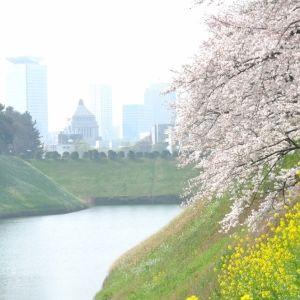 【東京連載】変化する街並みを歩く。「日本武道館」周辺で桜さんぽ