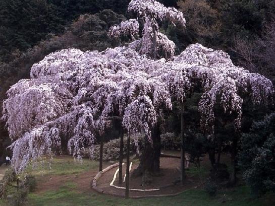 神奈川のおすすめの桜の名所①長興山のしだれ桜