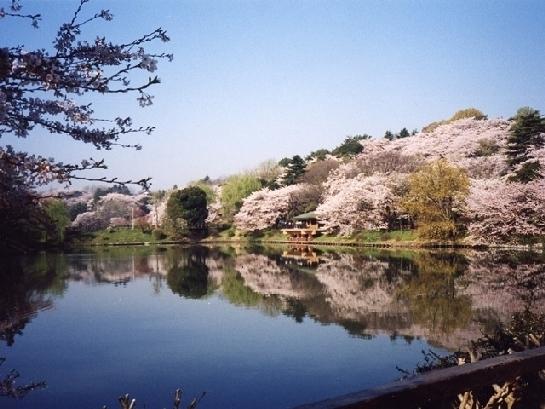 神奈川のおすすめの桜の名所③県立三ツ池公園