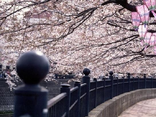 神奈川のおすすめの桜の名所④大岡川プロムナード