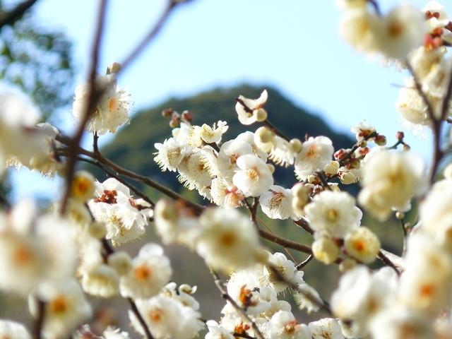 日本一早咲きと言われる梅が見ごろ!静岡県・熱海のおすすめ観光スポットその2