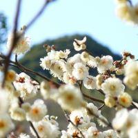 日本一早咲きと言われる梅が見ごろ!静岡県・熱海のおすすめ観光スポット