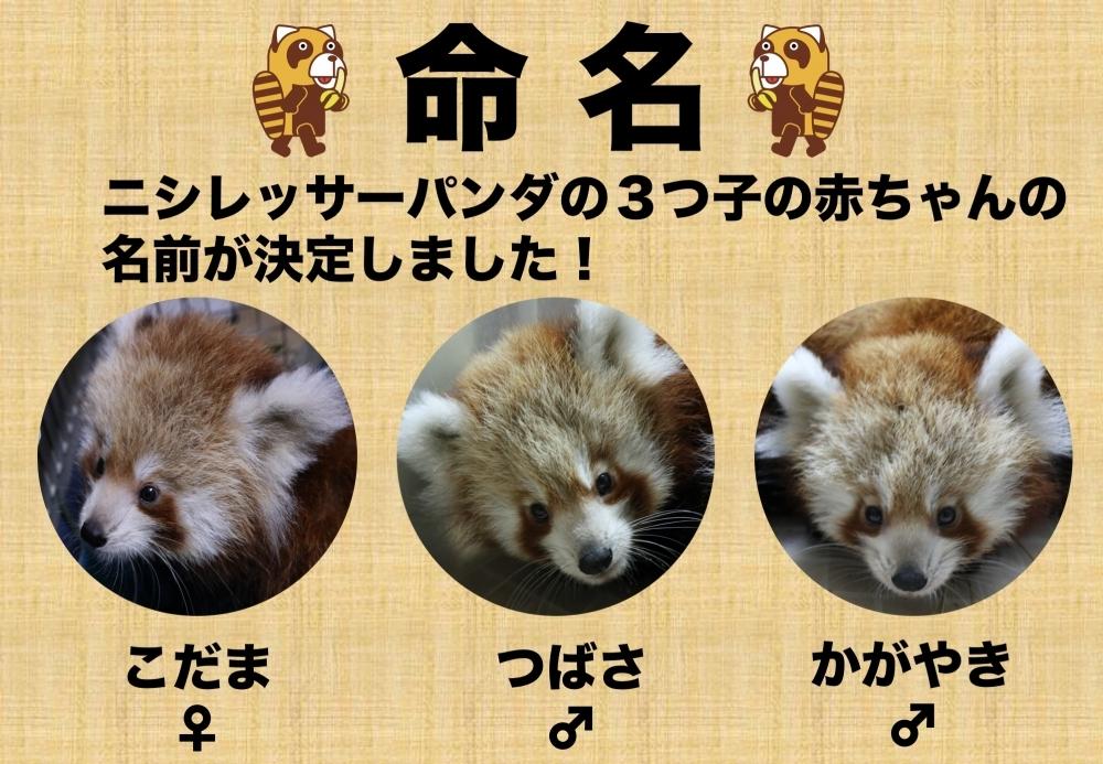 ニシレッサーパンダの3つ子の赤ちゃんの名前決定!