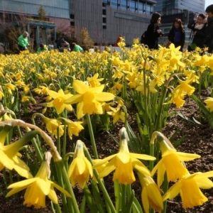 うめきたガーデンに黄色の花畑が出現!見ごろは2月下旬ごろまで