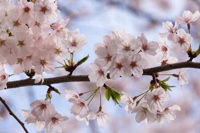 桜の開花傾向