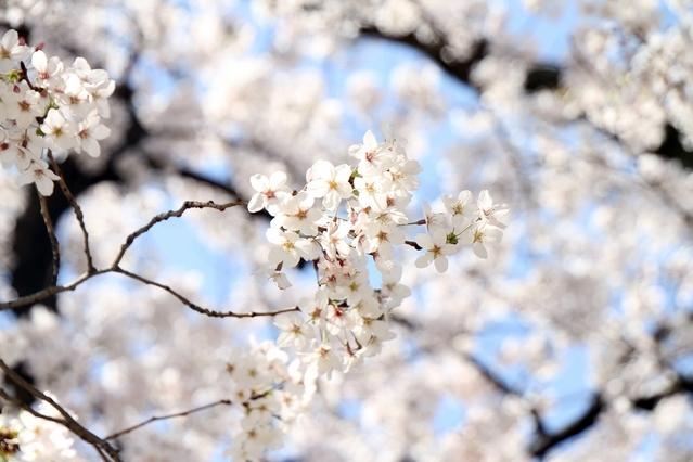 東京は3月18日ごろから開花スタート?「桜開花予想2018」発表その3
