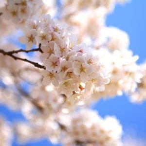 東京は3月18日ごろから開花スタート?「桜開花予想2018」発表