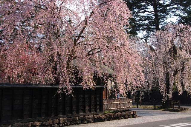 東北でおすすめの桜の名所①角館のシダレザクラ