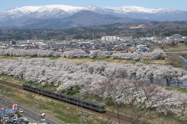 東北でおすすめの桜の名所②白石川堤一目千本桜
