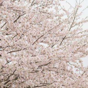 圧巻の一本桜から桜の並木道まで。東北の春の「見るべき名所」を厳選