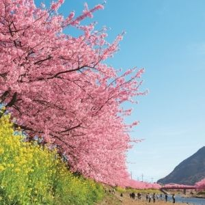 今年の花見はちょっとリッチに。河津桜を楽しむ宿泊プランがあるホテルへ