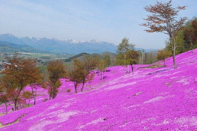 一面に広がるピンクの絨毯