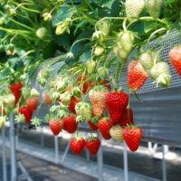 3種類のイチゴをチョコフォンデュで! 京都・天橋立でグランピング×イチゴ狩り体験