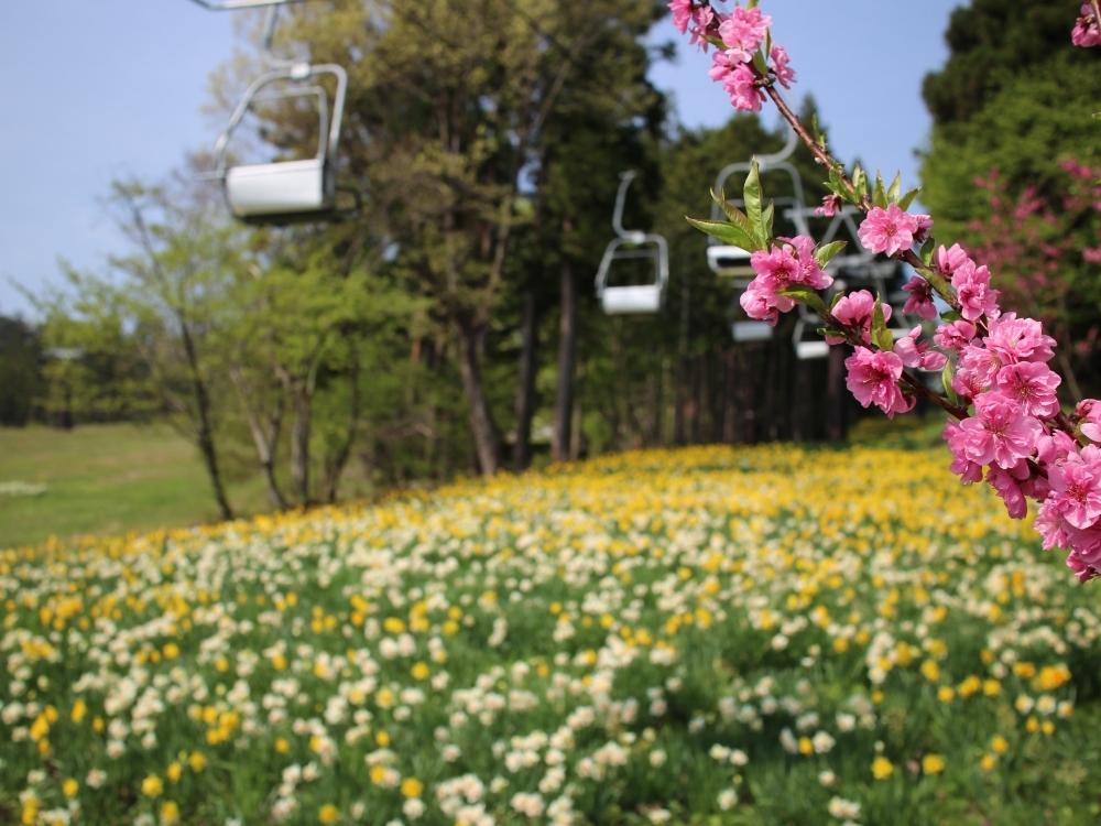 水仙と桜の共演
