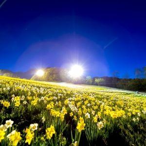 30日間限定の奇跡の風景!GWは満開の水仙が生み出す絶景を見に行こう