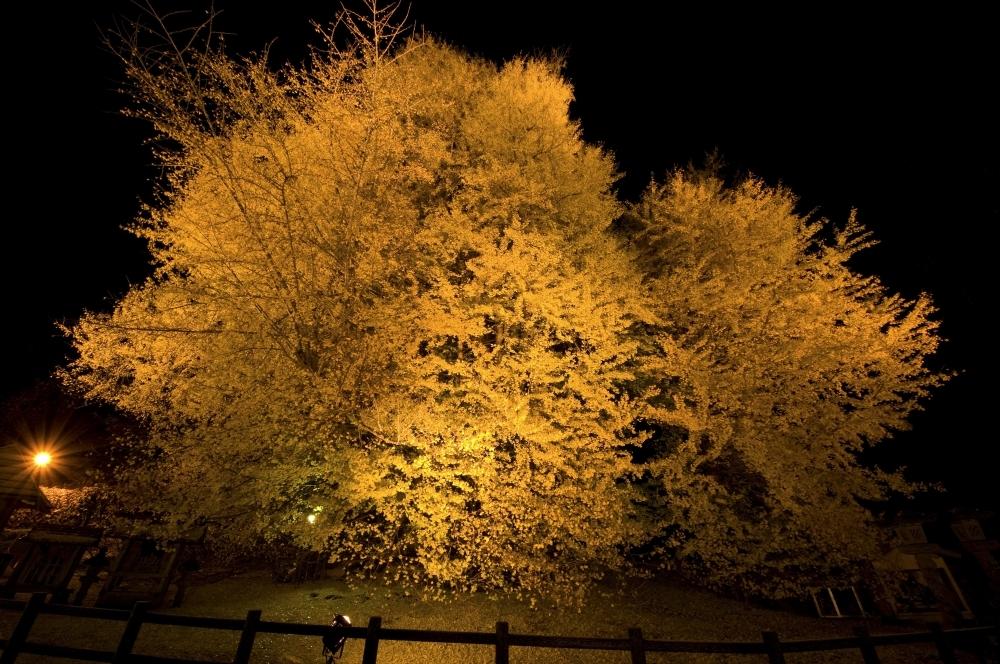 樹齢約1000年を超える大銀杏が輝く「北金ケ沢の大銀杏ライトアップ」(青森県・深浦町)