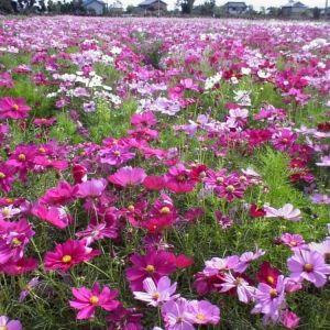 【全国】一日いたい、コスモス花畑のテーマパーク