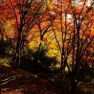 【京都洛北】11月見ごろ!フォトジェニックなもみじを見にいこう!八瀬もみじの小径ライトアップ