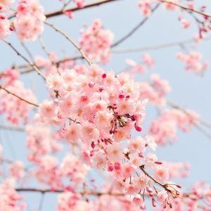 毎年恒例・3月14日スタート!東京国立博物館「博物館でお花見を」