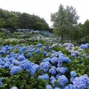 アジサイの海が広がる関西屈指の名所!京都で「アジサイまつり」開催