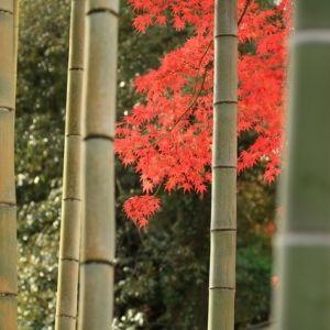 ミシュラン二つ星の実力。秋の「竹林の小径」と「修禅寺」の絶景