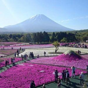 一面ピンクの絨毯。富士山に春の訪れを告げる花の祭典「2017富士芝桜まつり」
