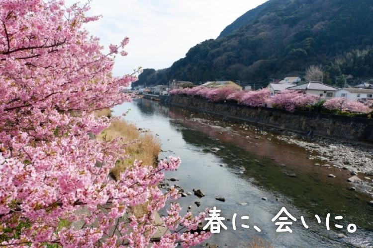 濃いピンク色が川沿いを染める「河津桜で春うらら 伊豆でポカポカ温泉旅」