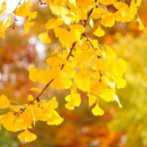 秋を感じる黄葉スポット。都内で見つけたイチョウの名所