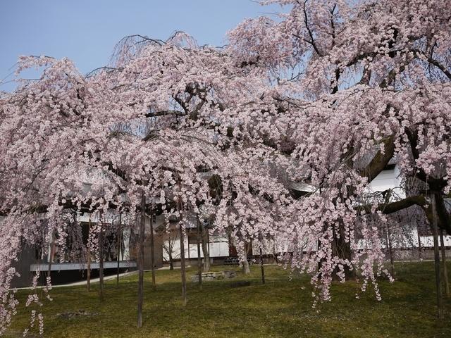 京都でおすすめの桜の名所①醍醐寺