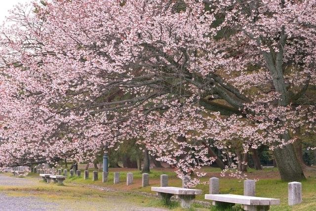 京都でおすすめの桜の名所③京都御苑