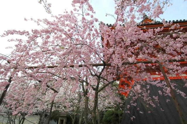 京都でおすすめの桜の名所④仁和寺