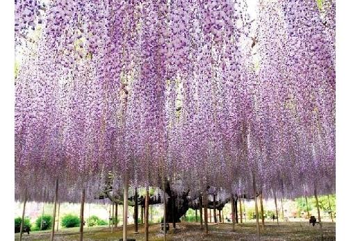 栃木県の春観光におすすめのスポット①あしかがフラワーパーク
