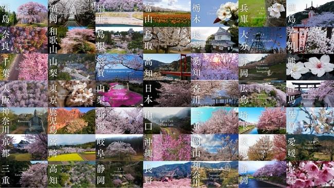 昨年メディアでも紹介された桜のドローン映像をYouTubeで配信