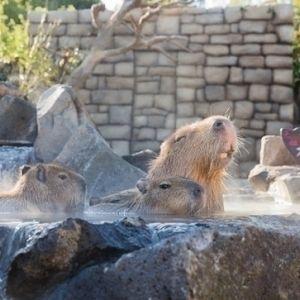 赤ちゃんのお風呂デビューも!伊豆シャボテン動物公園で「カピバラの露天風呂」開催