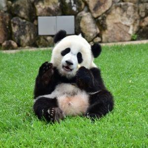 パンダが走る!? アドベンチャーワールド40周年を記念したパンダ列車とはその0