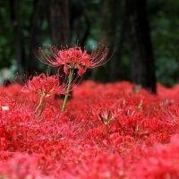 """真っ赤な""""秋の花火""""が満開!関東エリアの「彼岸花」絶景スポット"""